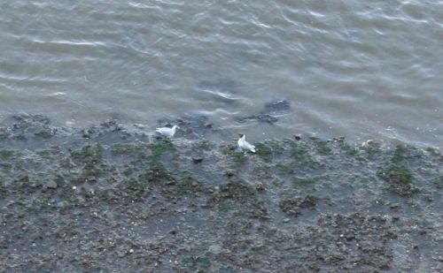 chav-gulls