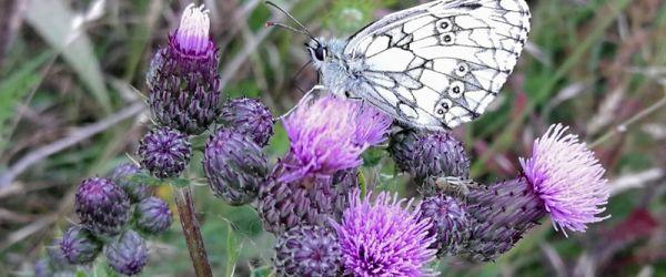 Big City Butterflies - discovering London's wildlife