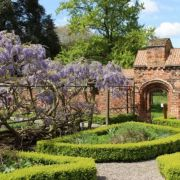 A winding history: the Fulham Palace wisteria