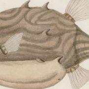 The Artistic Legacy of Joseph Banks