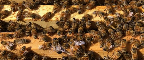Fantastic Bees and Where to Find Them