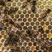 Why history? Bees in the medieval world